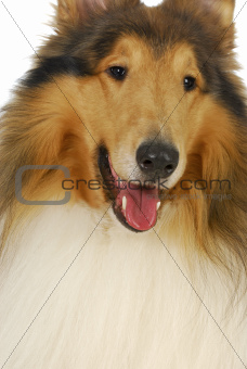 rough collie portrait
