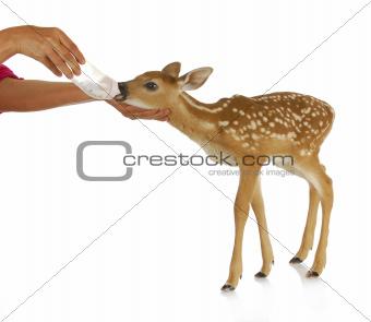 hand raising fawn