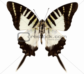 Butterfly species graphium decolor atratus