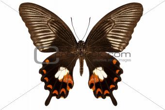 "Butterfly species papilio polytes mandane ""Common Mormon"""