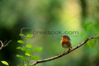 Robin bird on branch dry