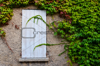 Closed wooden window and grape leaves
