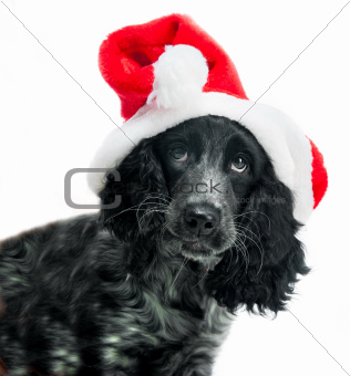 cocker spaniel wearing santa hat