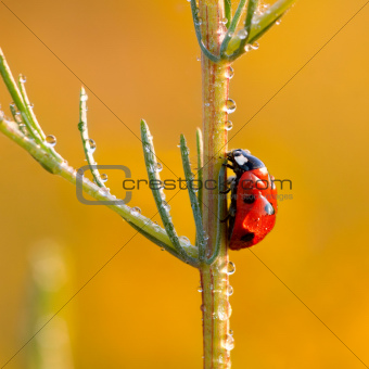 hard way Ladybird