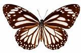 """Butterfly species Danaus melanippus """"White Tiger"""""""