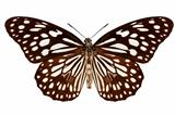 "Butterfly species Tirumala limniace ""Blue Tiger"""
