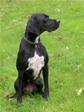 Black english pointer dog