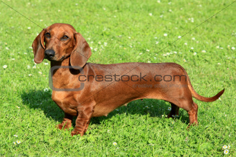 Standard smooth-haired dachshund