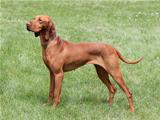 Hungarian Vizsla