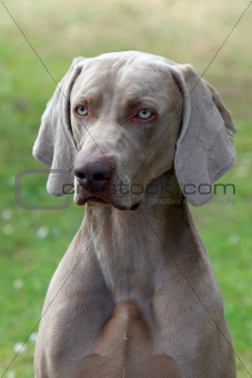 Weimaraner Short-haired dog