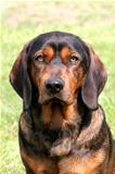 Alpine Dachsbracke dog