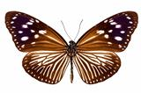 butterfly species Euploea Mulciber female