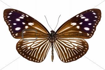 butterfly species Euploea Mulciber female