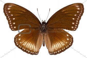 butterfly species Hypolimnas anomala wallaceana