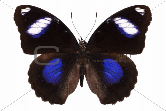 """Butterfly species Hypolimnas bolina phillippensis """"Great Eggfly"""""""
