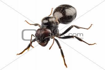 Black garden ant species Lasius niger