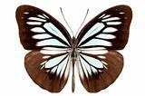 Butterfly species pareronia boebera boebera
