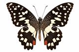 Butterfly species Papilio demoleus &quot; Lemon Butterfly&quot;