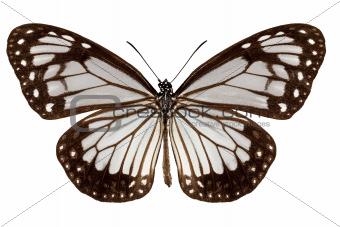 Butterfly species Parantica vitrina