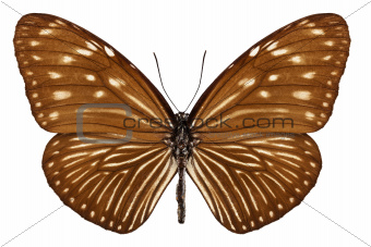Butterfly species euploea mulciber basilissa
