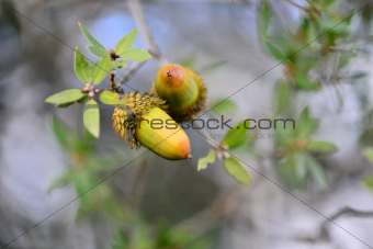 Acorns - Israeli Common Oak