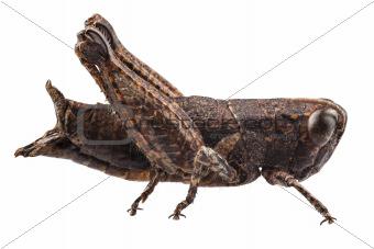 small brown grasshopper