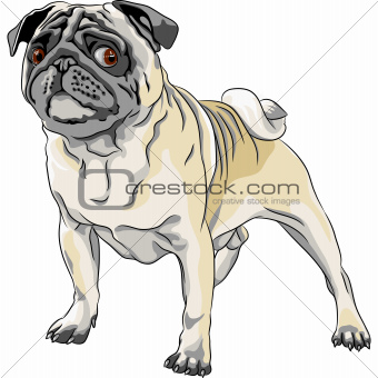 vector sketch angry dog pug breed