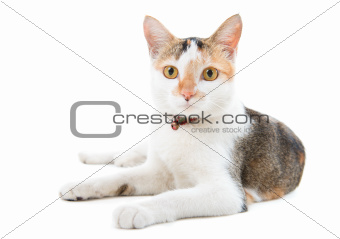 Portrait Malaysian short haired cat
