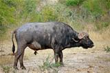 African buffalo bull