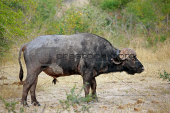  African buffalo bull