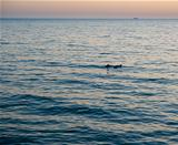 Dolphins in the sunset sea.