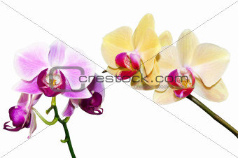 two branches of the orchid