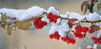 Red berries covered with snow.