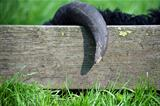 The black sheep got horns caught on the fence.