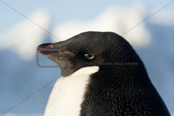 Portrait of Adelie penguins.
