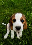 Beagle dog