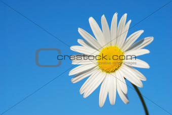 Chamomile on the sky background