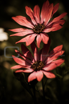 Red African Daisy