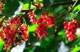 Bunch of a Red Currant on a Branch