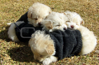 Four Puppies Cuddle with Sweaters on