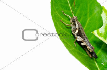 grasshopper on leaf isolated