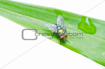 fly on leaf isolated