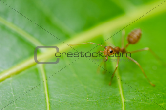 red ant on the leaf