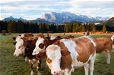 milk cows in Bavarian Alps