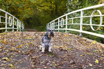 miniature schnauzer on the bridge