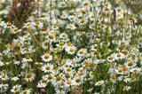 camomile field