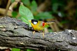 female silver-eared mesia