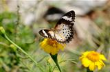 Leopard Lacewing butterfly (Cethosia cyane)