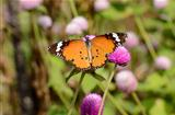 Plain Tiger butterfly (Danaus chrysippus)
