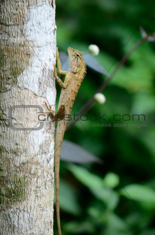 Garden Fence Lizard (Calotes versicolor)